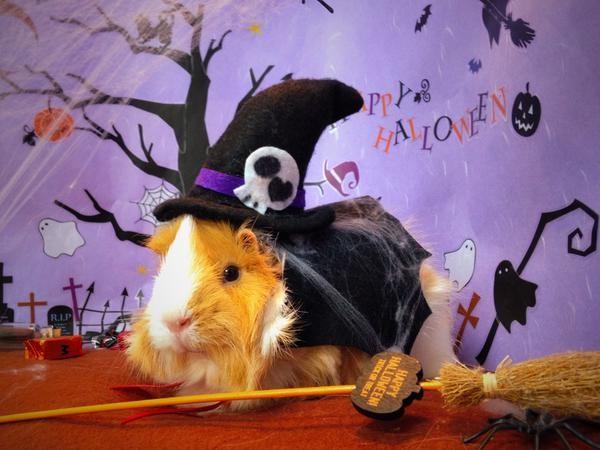 天竺鼠の画像 p1_15